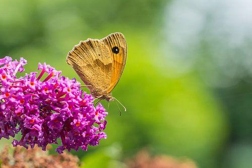 Bruin zandoogje op de vlinderboom