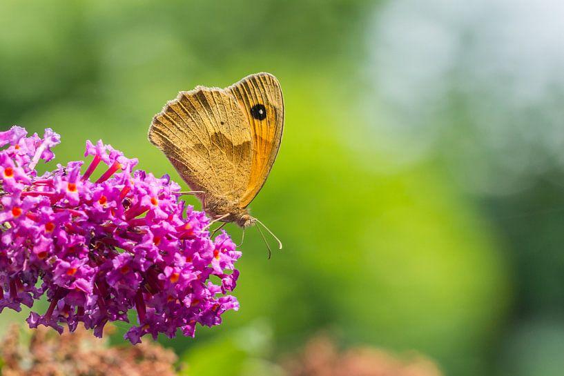 Bruin zandoogje op de vlinderboom van Hilda Weges