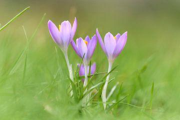 Krokussen in het gras van Ad Jekel