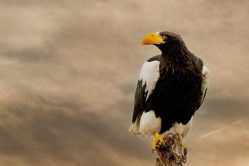 Een gedetailleerde  Steller zeearend in vooraanzicht, tegen een dramatische bruine lucht.