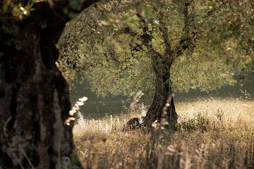 Olijfboom in sfeervol zonlicht. van Rens Kromhout