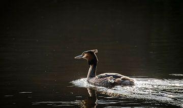 Zwemmende Fuut, met tegenlicht van Rietje Bulthuis