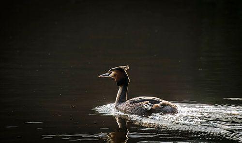 Zwemmende Fuut, met tegenlicht