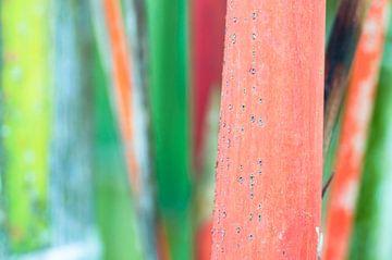 Rode bamboe in tropisch bos von Wijnand Loven