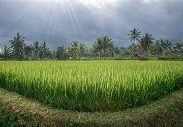 Reisfeld in Lombok mit Sonne  von Marcel van Balken