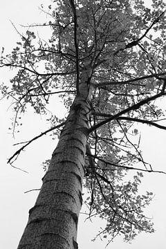 berkenboom von Kaa. M