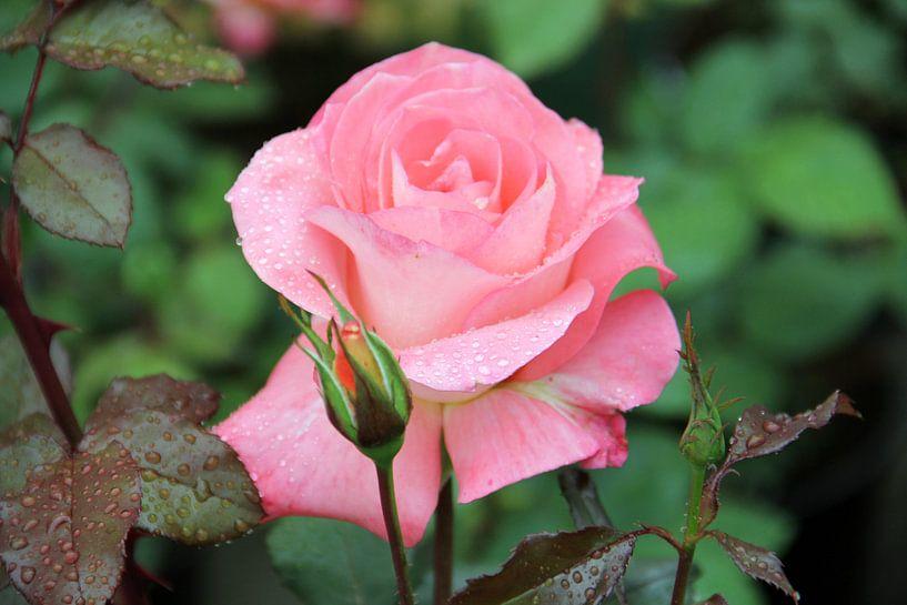 The Violet Rose van Cornelis (Cees) Cornelissen