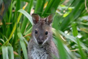 Känguru mit Aufmerksamkeit