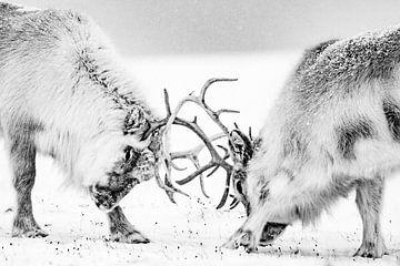 Kämpfende Rentiere von Sam Mannaerts Natuurfotografie