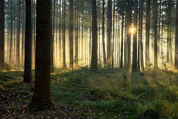 Nebliger Sonnenaufgang im Pinienwald von Cor de Hamer