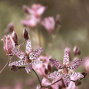 Nostalgische Sternblume zart rosa von Carmen Varo