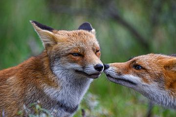 Füchse küssende Füchse von Ed Klungers
