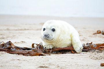 Jonge grijze zeehond op het strand van