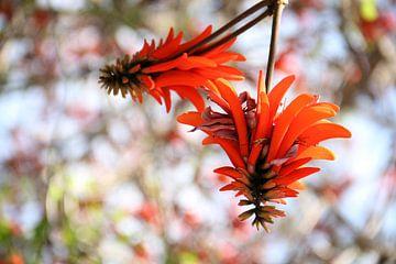 The Orange Tree Blossom sur Cornelis (Cees) Cornelissen