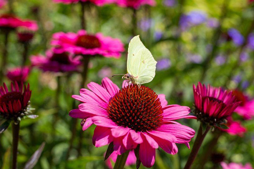 Roter Sonnenhut mit Schmetterling von Yannick uit den Boogaard