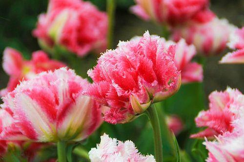 Roze Tulpen.