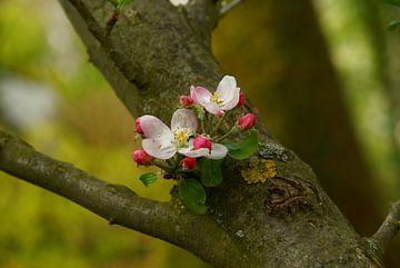 Appelbloesem op stam van