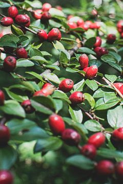 Herbststrauch mit roten Beeren von Nadine Rall