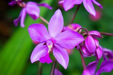 lila Orchidee in Thailand von Babetts Bildergalerie