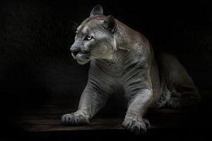 Stijgt dragend gevaar schoonheid en sterkte in katten poema, zwarte achtergrond van Michael Semenov