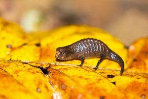 Peyrieras pygmy chameleon van Dennis van de Water