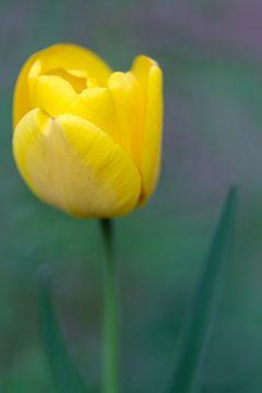 Gele Tulp van MSP Canvas