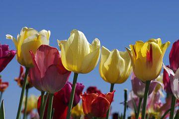 Bunte Tulpen und blauer Himmel von Anja Uhlemeyer-Wrona