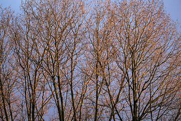 Kale takken van bomen beschenen door de morgenzon in de winter
