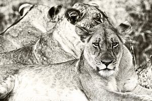 Leeuwen in South Luanda Zambia op de uitkijk van