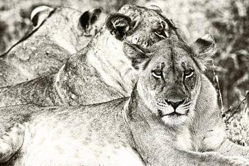 Löwen Gruppe in South Luangwa Sambia (Schwarz-Weiss) von Dirk-Jan Steehouwer