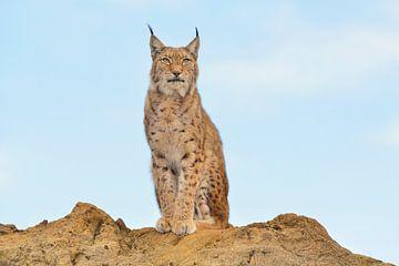 Lynx van Loulou Beavers