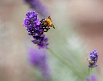 Bij drinkt nectar uit de lavendel. van Kelly Rensen
