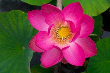 Heilige  Lotusbloem vol in Bloei van Peter Hermus