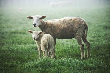 moeder en dochter schaap van Matthijs Temminck