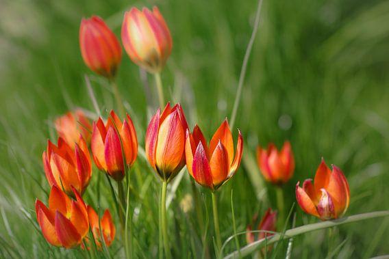 Vrolijke tulpen familie van Lily Ploeg