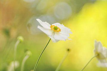Witte Anemoon von Corinne Welp