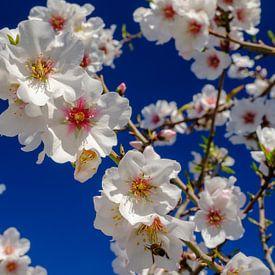 Amandelbomen met bloesem in landschap van Andalusie. ruige bergen van Peter Laarakker