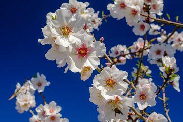 Amandelbomen met bloesem in landschap van Andalusie. ruige bergen