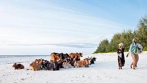 Koeien op het strand van Zanzibar van