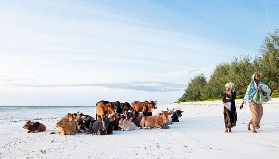 Koeien op het strand van Zanzibar van Jeroen Middelbeek