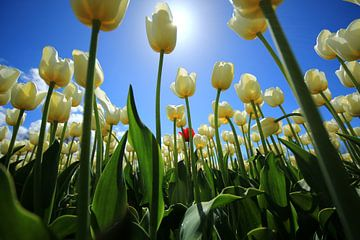 Witte tulpen sur Saskia Hoks