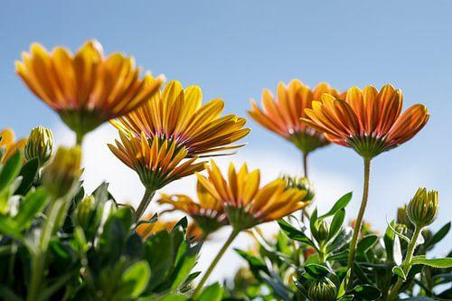 Geel/Oranje Margriet met blauwe lucht III