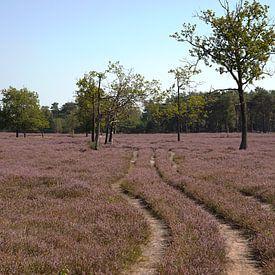 Heide in de bloei, de Maashorst van Tanja van Beuningen