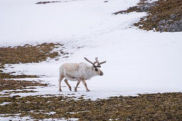 Rentier auf Spitzbergen von Merijn Loch