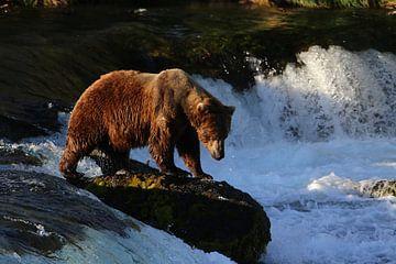 Brown bear in Alaska sur Jos Hug