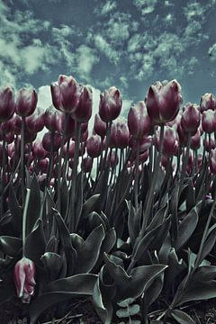 drama tulpen von John Wieringa