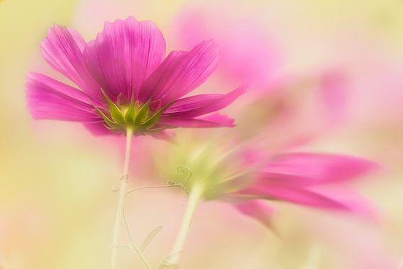 Cosmea bloem van Ellen Driesse
