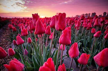 Champ de tulipes avec un beau ciel au lever du soleil.