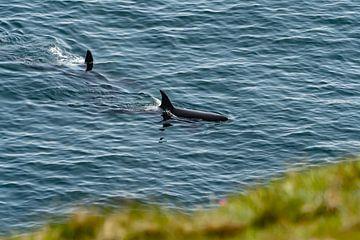 Orcas von der Klippe in Schottland von Merijn Loch