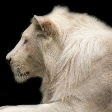 Witte leeuw von Angelique van Heertum